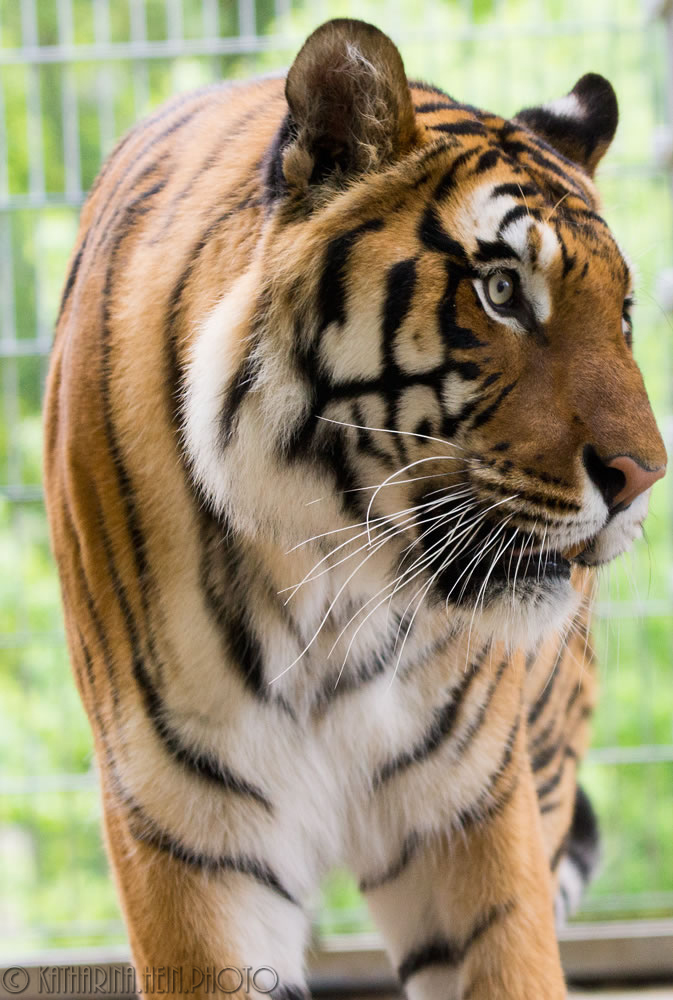 DSC05600_Raubtierasyl_Tiger_16