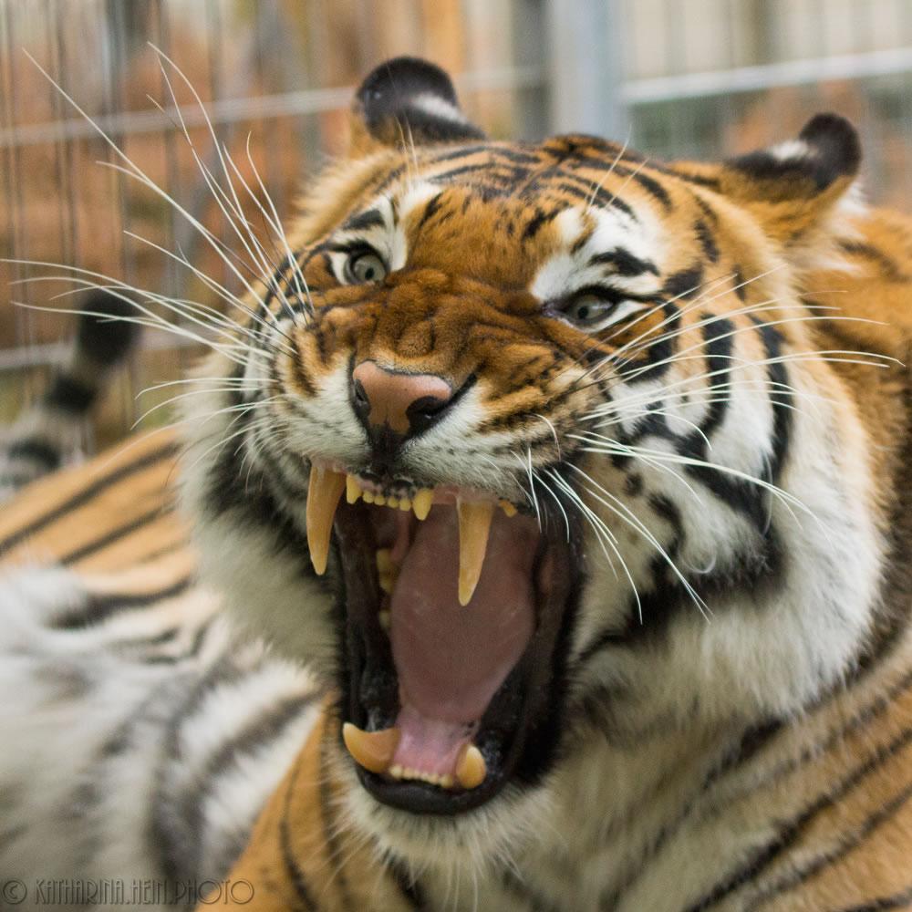DSC05676_Raubtierasyl_Tiger_15