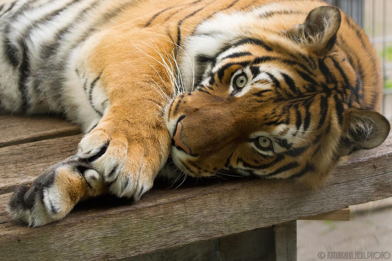 DSC05699_Raubtierasyl_Tiger_7