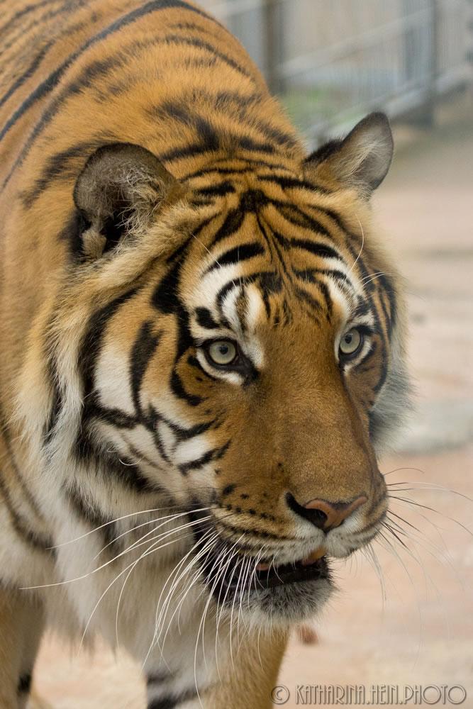 DSC06233_Raubtierasyl_Tiger_1