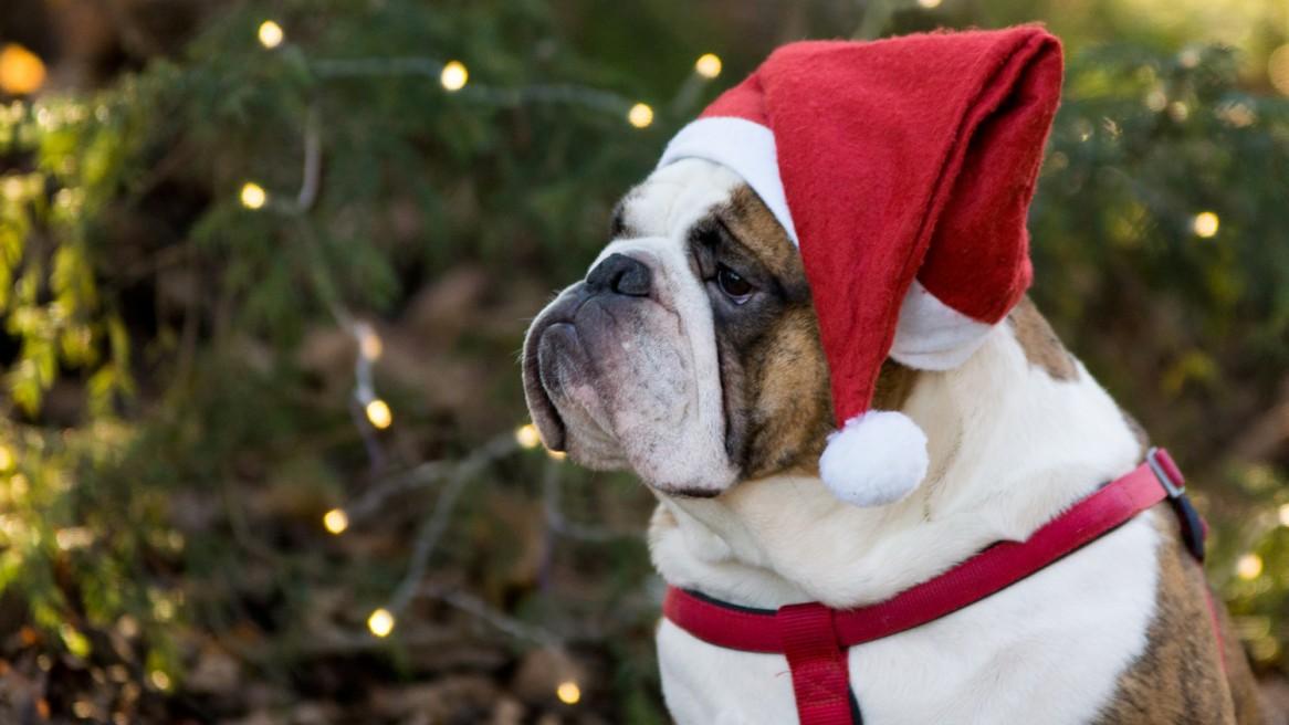 Englische Bulldogge München Hundefoto Weihnachten