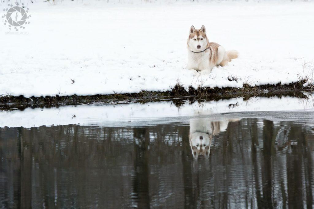 Yuki Husky Platz Spiegelung Teich Isarinsel Oberföhring Winter