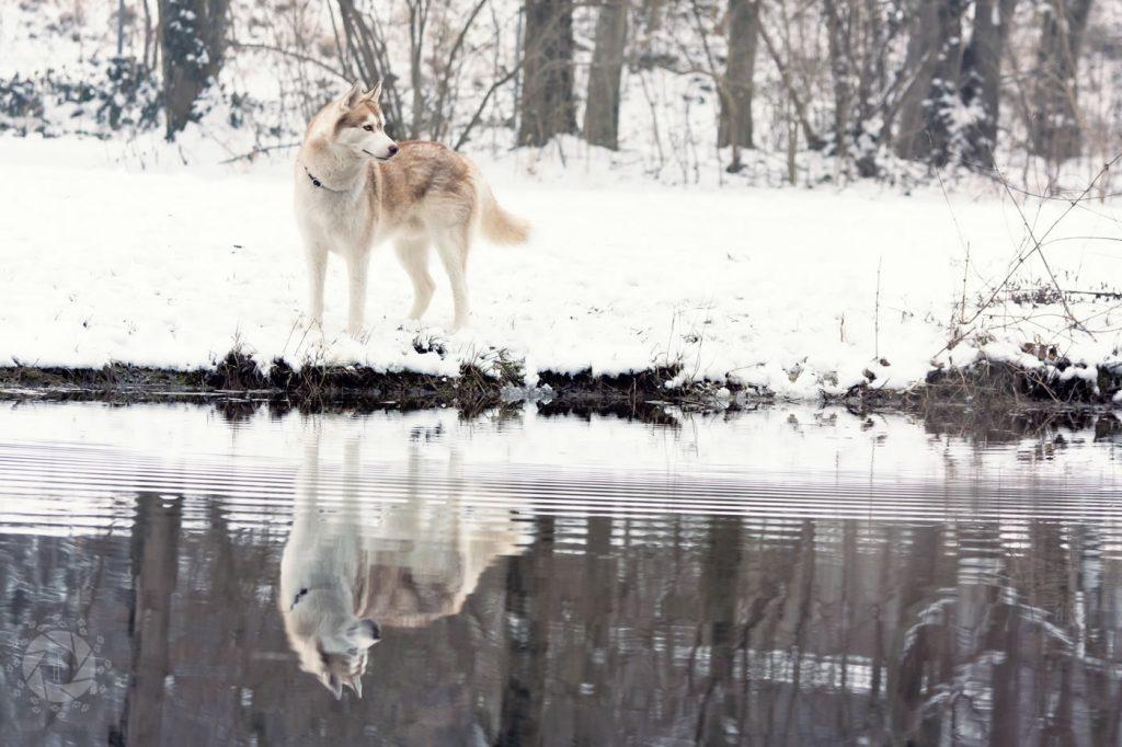 Yuki Husky Spiegelung Teich Isarinsel Oberföhring Winter