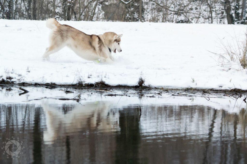 Yuki Husky tobt spielt Spiegelung Teich Isarinsel Oberföhring Winter Schnee
