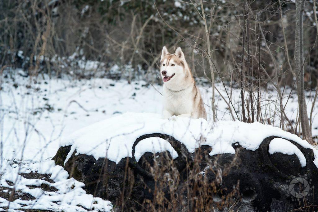 Yuki Husky Platz Stein Isarinsel Oberföhring Winter Schnee