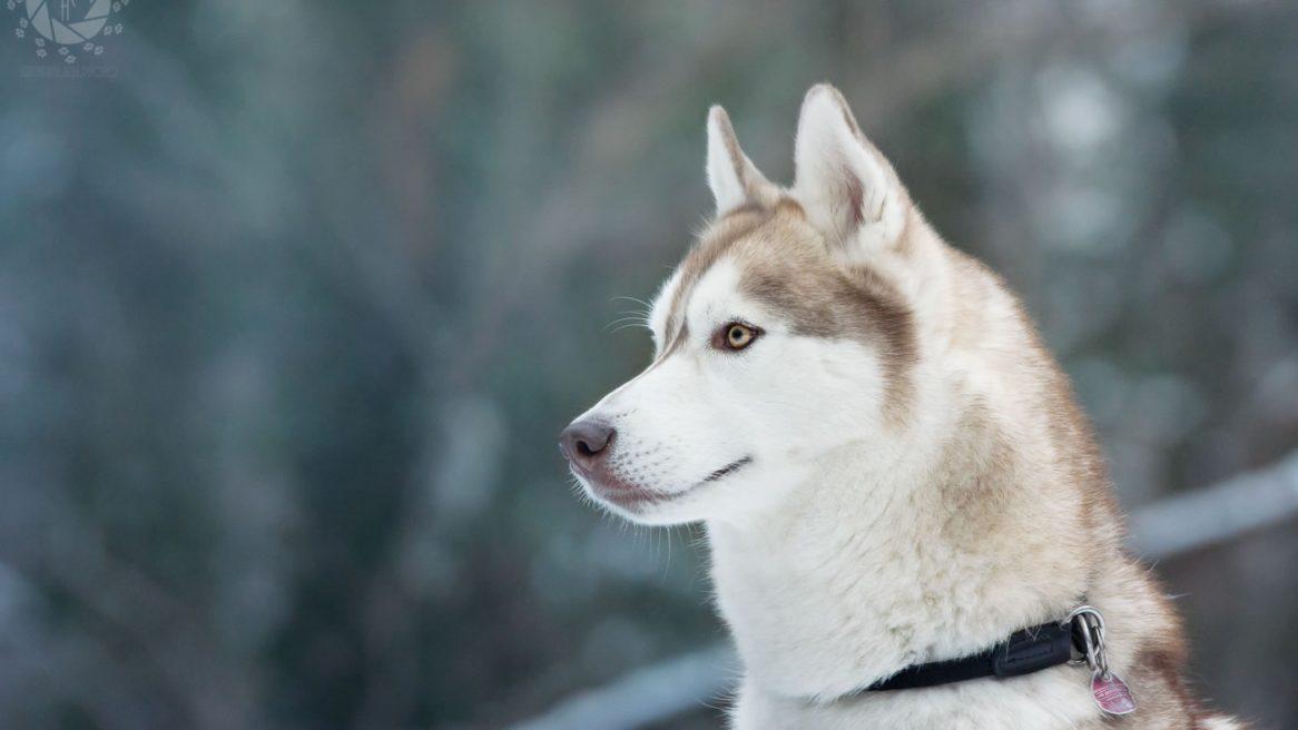 Yuki Husky Porträt Isarinsel Oberföhring Winter Winterlicht
