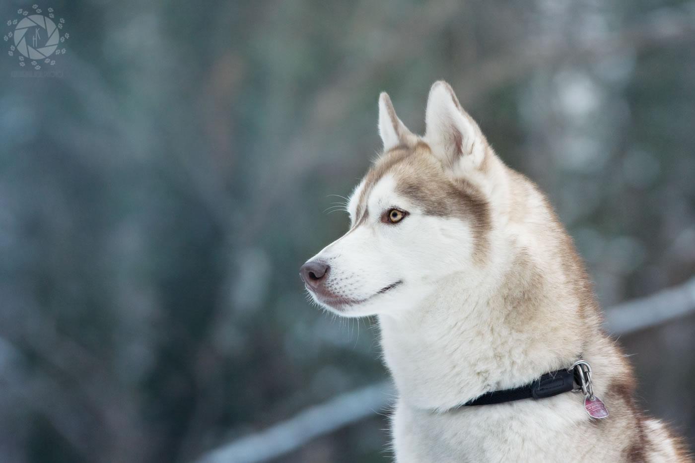 Tierfotografie_München_Hein_Hundefotografie_034_Yuki_Schnee