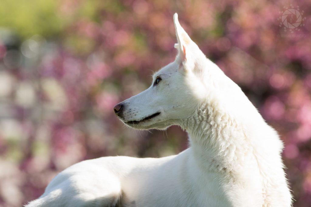 Weißer Hund Blüten Kirschblüten Porträt Olympiapark München