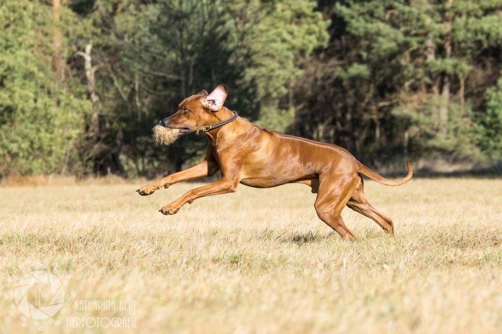 Rhodesian Ridgeback Rüde rennt Spielzeug Wiese Echinger Heide München Tierfotografie