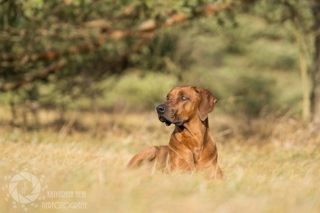 Rhodesian Ridgeback Rüde Porträt Savanne Echinger Heide München Tierfotografie