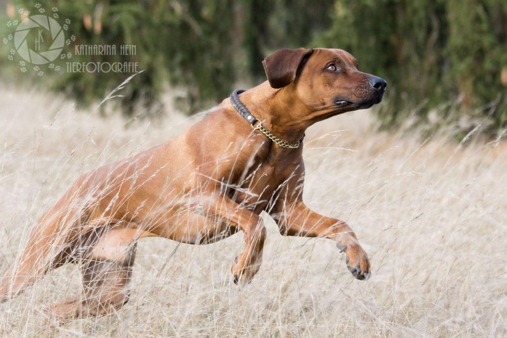 Rhodesian Ridgeback Rüde rennt Savanne Echinger Heide München Tierfotografie