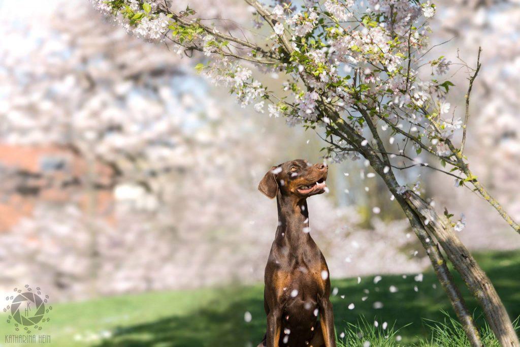 Kirschblüten Dobermann Kirschbaum München Tierfotografie Katharina Hein Hundefoto